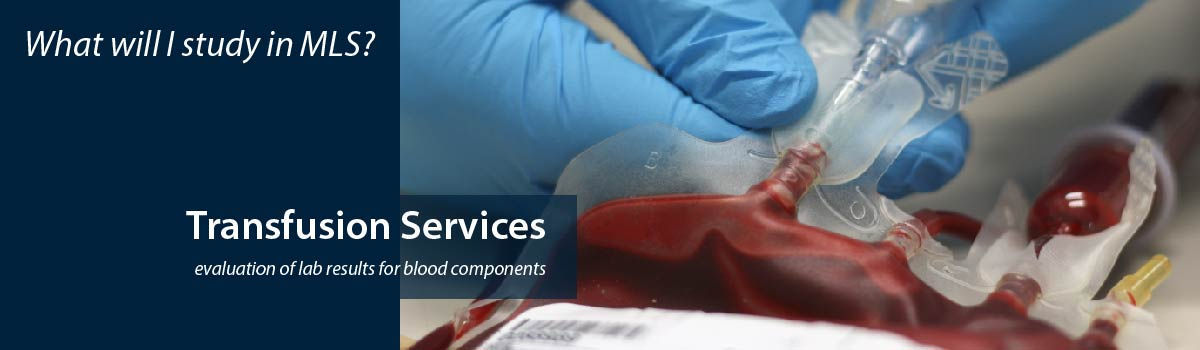close-up of scientist drawing blood from a bag - What will I study in MLS? - Transfusion services - evaluation of lab results for blood components